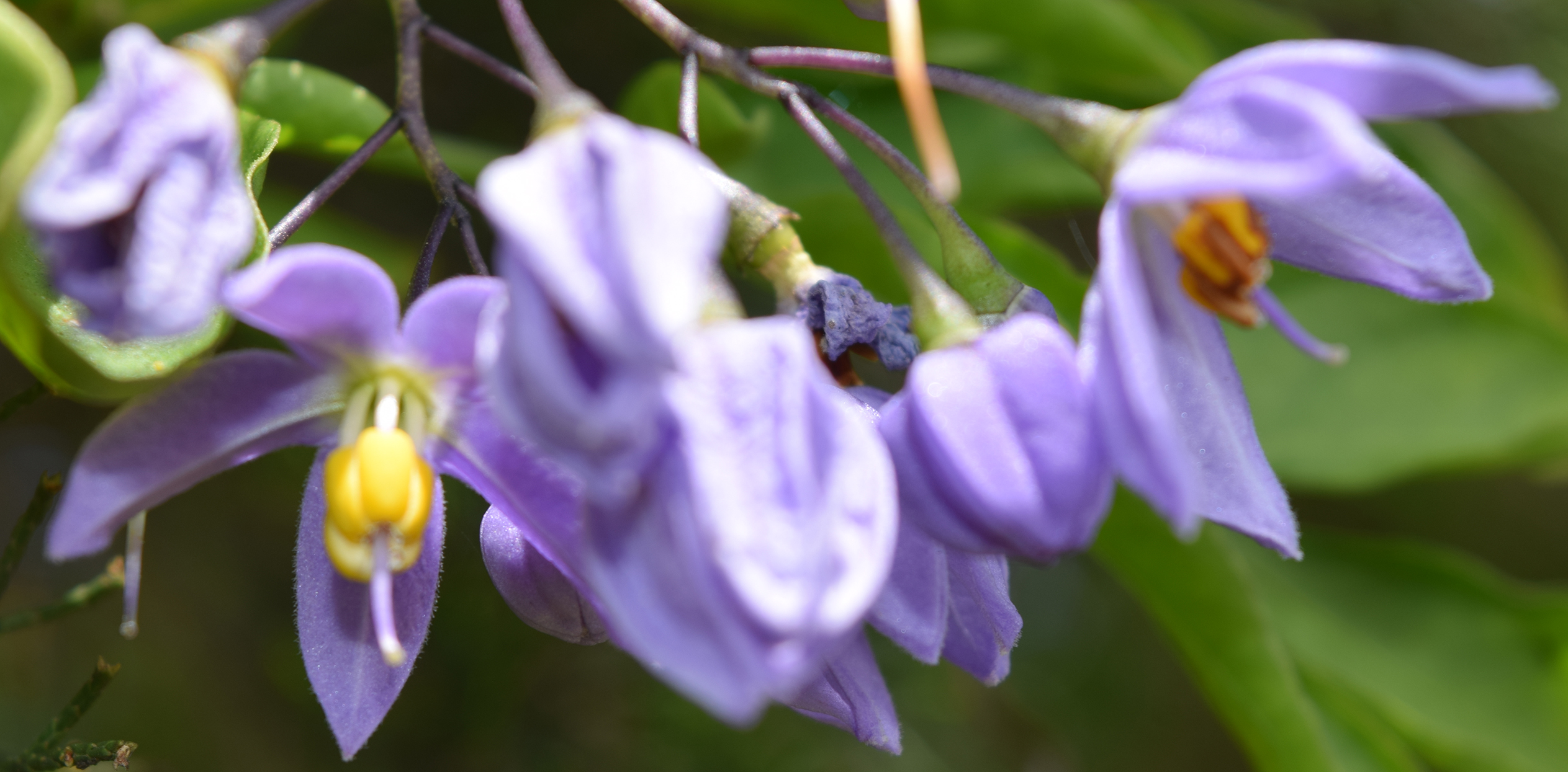 3 interlude purple