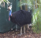 also a good time for a Public Service Announcement, if you see a Cassowary in real life, don't go near it, they can mess you up