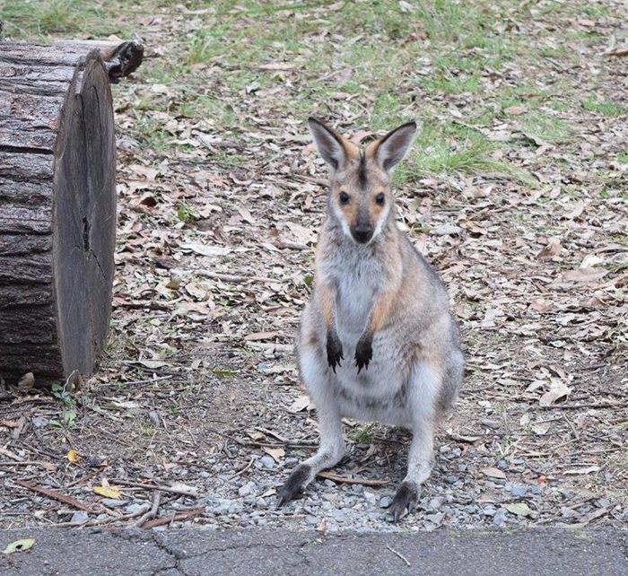 Daisy Hill Conservation Park & Koala Centre. Image Credit: Brian MacNama.ra