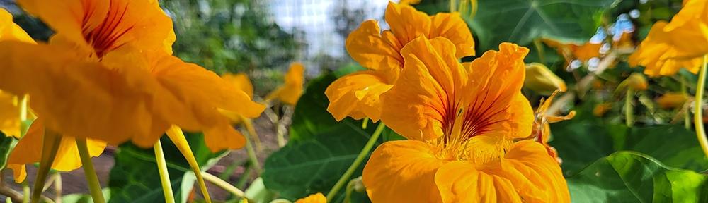 Nasturtium Flowers. Image Credit: Brian MacNamara.